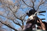 橋詰様後ろ姿越の桜お見事