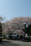 桜の木 (2)