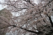 桜アップ2