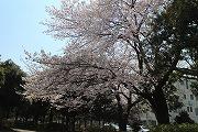 s-桜ひき