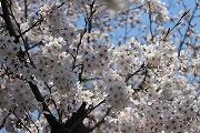 s-桜寄り