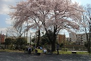 s-桜の全景