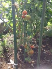 tomato_20120717012929.jpg