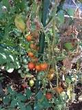 tomato_20120820202021.jpg